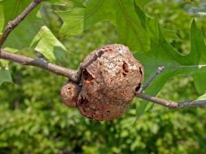 Gouty_Horned_Gall4